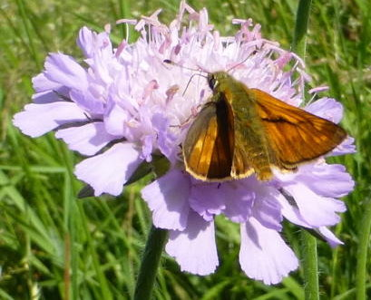 Large skipper on field scabious
